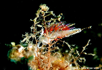Cratena Peregrina by Acqua Club Venezia
